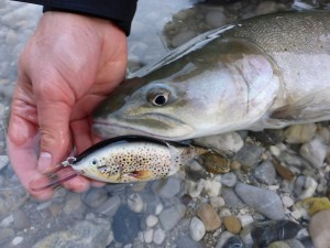 Huchen/Hucho on Brown trout lure